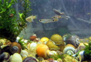 Female and male guppies