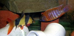 clown loach and ruby red aulonocara