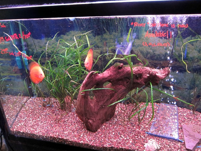 the gallery for discus fish aquarium size