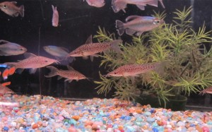 Congo tetras and catfish